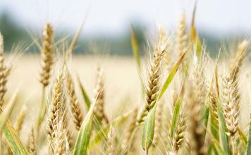 Novo Nordisk Fonden – Collaborative Crop Resilience Program
